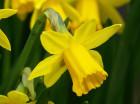 narcis-geel