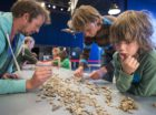 Deelnemers aan de Bank Giroloterij mogen deelnemen aan het T.Rex puzzelen in Naturalis. Scherven van het skelet van de T.Rex worden bij elkaar gezocht.
